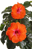 Beautiful hibiscus flowers. Stock Images