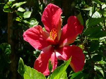 Beautiful hibiscus in French Polynesia royalty free stock images