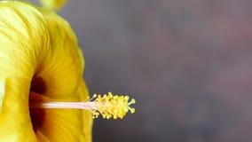 Beautiful Hibiscus yellow. Pollen of flowering hibiscus Petals and yellow stock video footage
