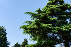 Beautiful Himalayan Cedar Cedrus Deodara, Deodar Cedar growing on the Black Sea coast in city Tuapse. Bright fresh spring needles against blue cloudless sky stock photos
