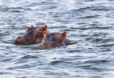 Beautiful Hippos at Naivasha lake Royalty Free Stock Image