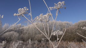 Beautiful hoarfrost rime in winter plant and wind stock video