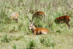 A beautiful Hog deer resting Royalty Free Stock Image