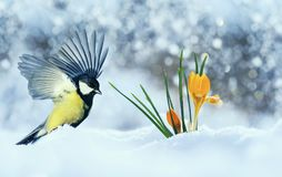 Beautiful holiday card with bird tit flew widely spreading its wings to the first delicate yellow flowers crocuses making their. Way stock image