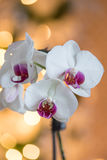 Beautiful Holiday orchids in front of a christmas holiday tree Stock Photography