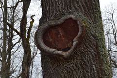 Beautiful hollow in a tree in the shape of a heart stock photo