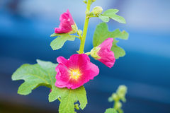 Beautiful hollyhock flowers. Beautiful bright purple mallow flowers on a blue background. Hollyhock flower. Shallow depth of field. Selective focus Stock Photo