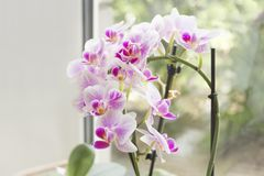 Beautiful home bouquet of Thailand Orchid in the interior. Orchids on the window. Vibrant tropical purple and white orchid flower, Royalty Free Stock Images