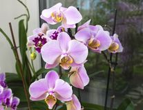 Beautiful home bouquet of Thailand Orchid in the interior. Selective soft focus. Vibrant tropical purple and white orchid flower, Royalty Free Stock Photo