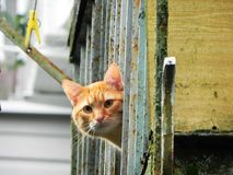 Beautiful home cat. Ginger cat in a vibrant hue. Details and close-up. Beautiful home cat. Ginger cat in a vibrant hue. Details close-up royalty free stock photo