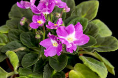 Beautiful home flowers violets. Stock Image