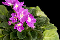 Beautiful home flowers violets. Stock Photography