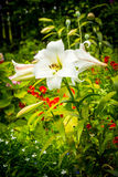 Beautiful home garden in Summer. White lilies in the flowerpot. Royalty Free Stock Image
