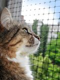 Beautiful home striped cat looking out the window. Summer walk. Beautiful homely moustached tabby cat looking out the window stock photography