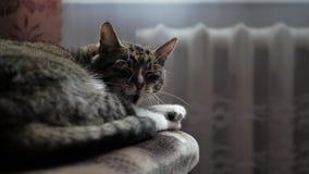 Beautiful home tabby cat yawns, tired, wants to sleep stock footage