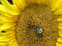 Beautiful honey bee collecting nectar from bright and show yellow sunflower head. stock video footage