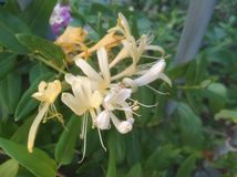 The beautiful Honeysuckle flower in garden.  royalty free stock photos
