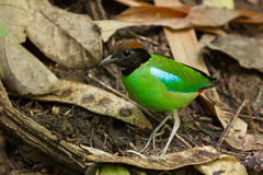 Beautiful Hooded Pitta Stock Image