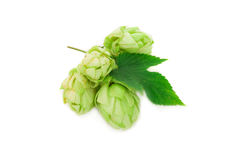 Beautiful hop isolated Royalty Free Stock Photography