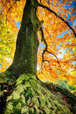 Beautiful hornbeam tree Stock Image