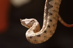 Beautiful horned viper Royalty Free Stock Photos