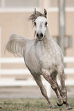 Beautiful horse. Was taken in kuwait in sabhaan in beat al-arab  house Royalty Free Stock Image
