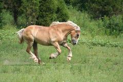 Beautiful Horse. Running in Pasture Royalty Free Stock Photo