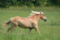 Beautiful Horse. Running in Pasture Royalty Free Stock Image