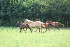 Beautiful Horse. Running in a green pasture Royalty Free Stock Images
