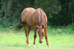 Beautiful Horse. Running in a green pasture Stock Image