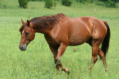 Beautiful Horse. Running in a green pasture Stock Photography