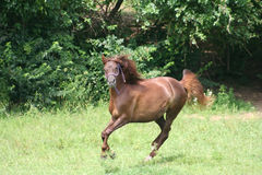 Beautiful Horse. Running in Pasture in the sun Stock Photography