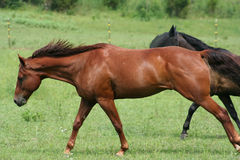 Beautiful Horse. Running in Pasture in the sun Royalty Free Stock Photo