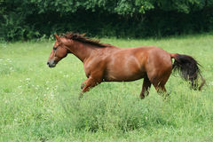 Beautiful Horse. Running in Pasture Royalty Free Stock Photos
