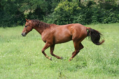Beautiful Horse. Running in Pasture in the sun Stock Images