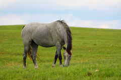 Beautiful horse. Grazing one white Horse on the Field Royalty Free Stock Photography