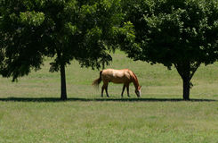 Beautiful Horse. A photograph taken of a beautiful horse in Oklahoma royalty free stock photography