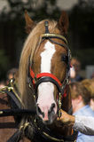 Beautiful Horse. Head close-up. Hyde Park, London. Picture is taken at the Horsemen's Sunday 2006 Stock Image