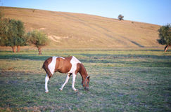 Beautiful horse. A beautiful and healthy horse in the nature - copy space Stock Photos