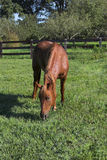 Beautiful Horse. Beautiful brown horse in pasture eating grass Royalty Free Stock Photography