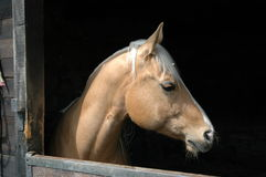 Beautiful horse. A beautiful horse in a farm in Oltrepo pavese, Italy royalty free stock photos