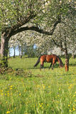 Beautiful Horse. S in the grass field Royalty Free Stock Photography