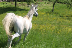 Beautiful Horse. In the grass field Stock Photography