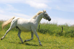 Beautiful Horse. S in the grass field Stock Photography
