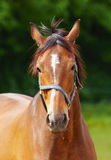 Beautiful horse Royalty Free Stock Images