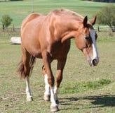 Beautiful horse Stock Photography