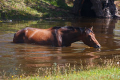 Beautiful horse bathed in small summer river Royalty Free Stock Images