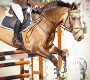 A horse of a bulan suit jumps over the brown barrier with a rider in the saddle stock images