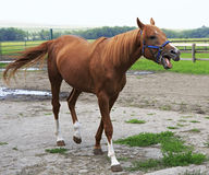 Beautiful horse chestnut stallion British breed (Thoroughbred). Stock Photography
