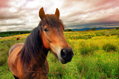 Beautiful horse close up Stock Photography